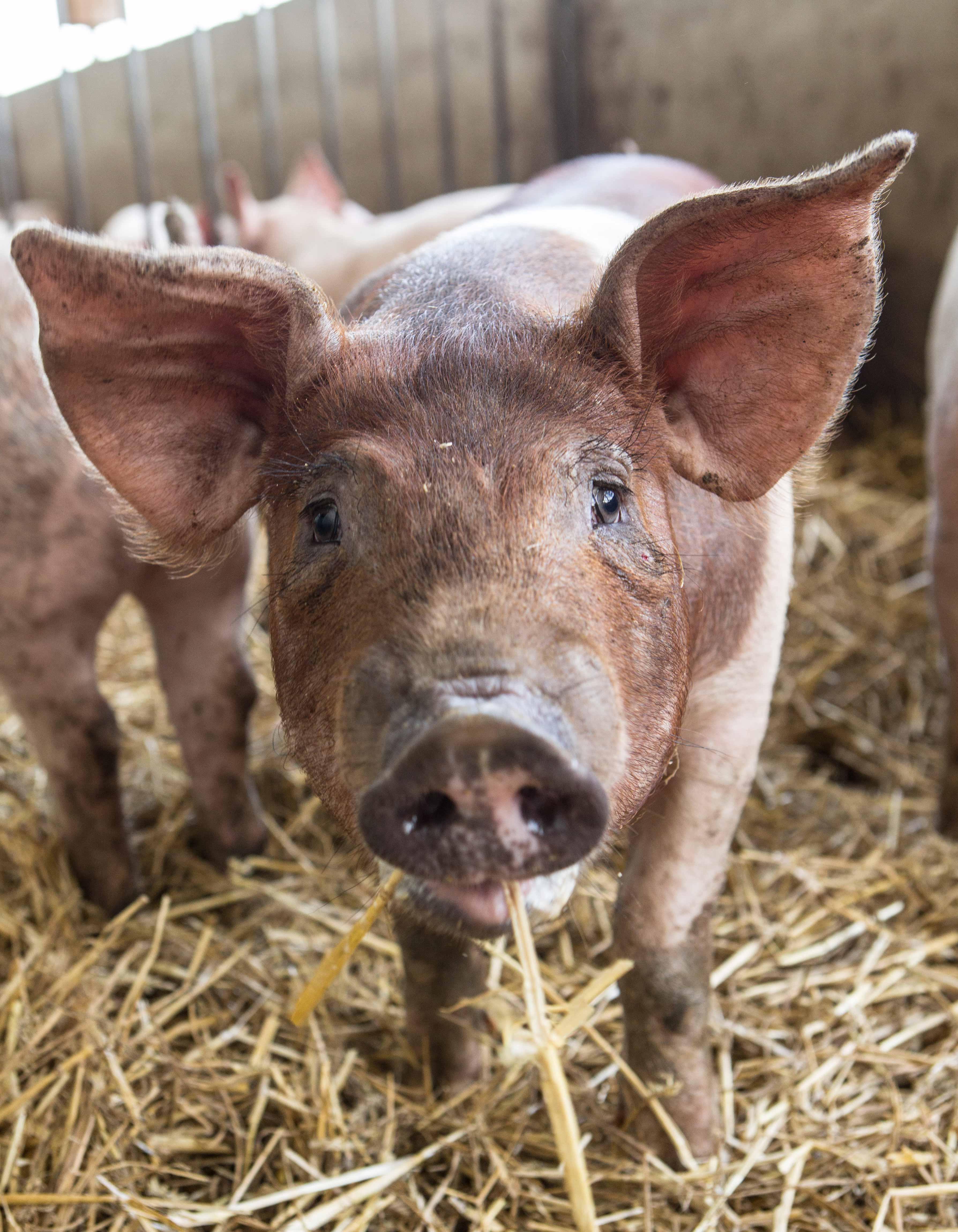 cochon Duroc de la Ferme Elizaldia
