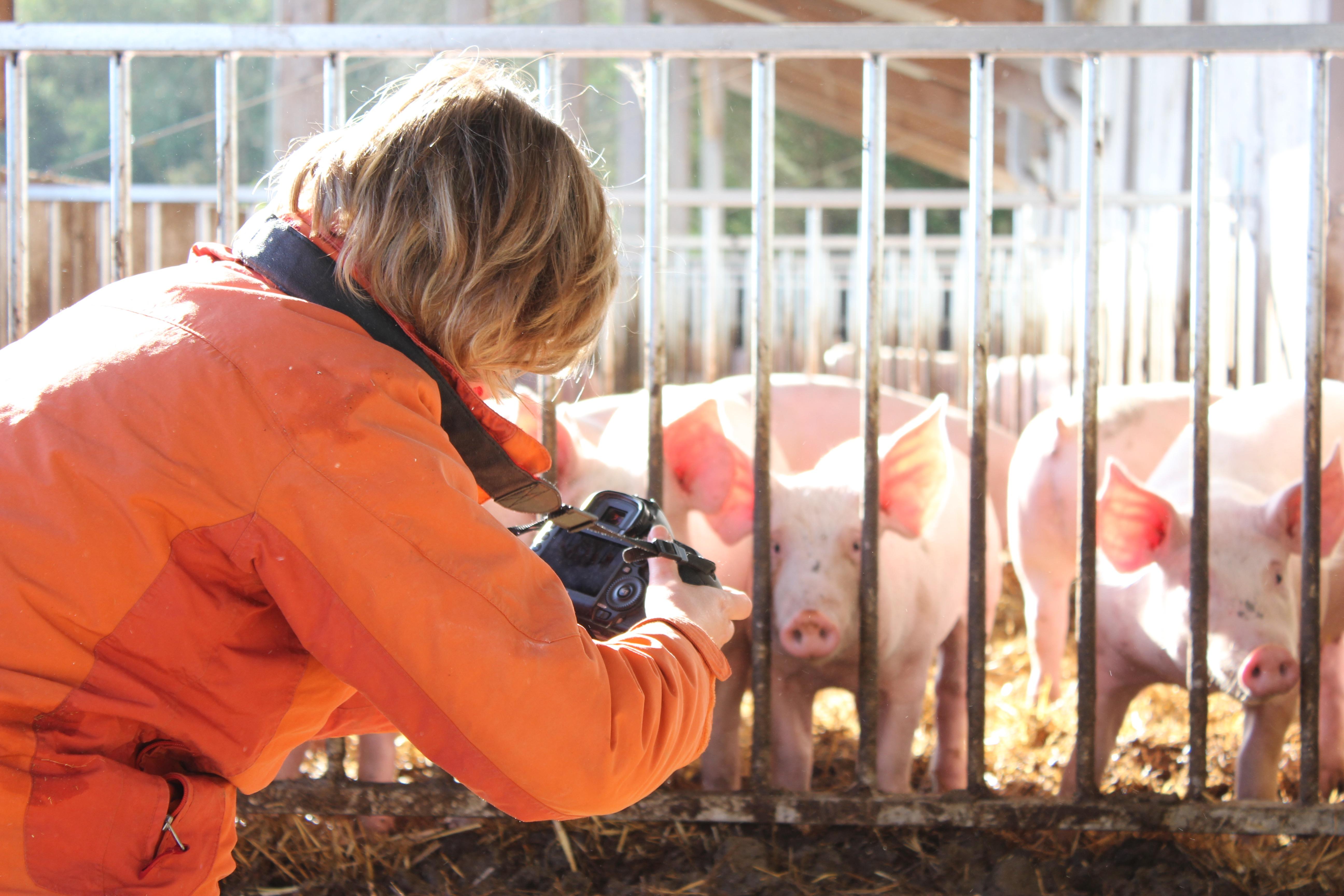 Photographe cochons